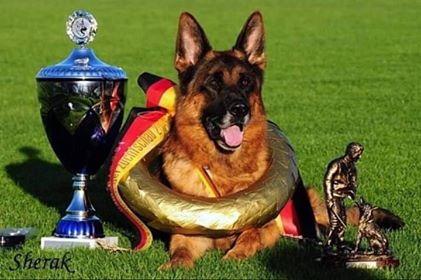 Le Berger Allemand n'est pas juste un chien policier